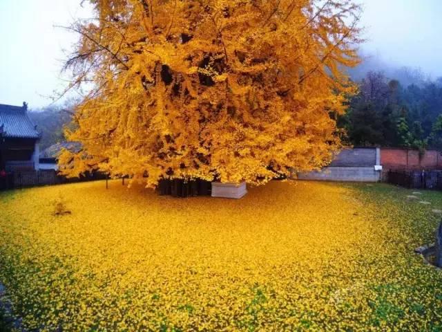 全球最美的树,最后一棵惊艳了千年!,美国,俄勒冈州,蓝花楹,加州,绚烂,美图分享