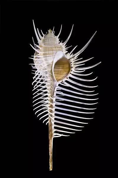 【动物世界】 罕 见 海 螺 ! 从 未 见 过 , 太 漂 亮 了 - 梦儿 - 强健体魄 善待自我 好好活着