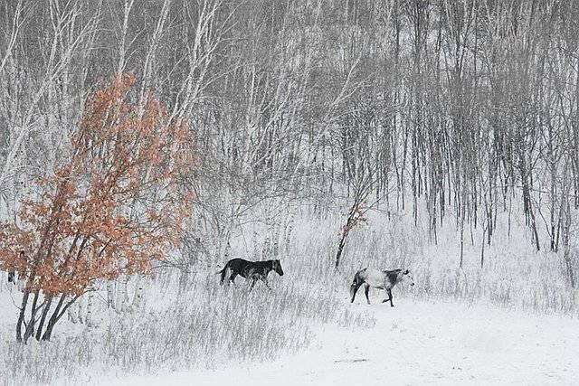 [转载]雪中的草原万马奔腾,美的不敢看! - deng62995636 - 缤纷世界