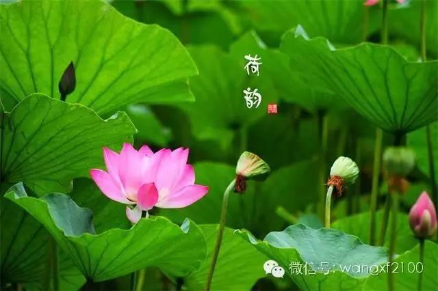 【精美文摘】 荷  韵 - 南飞雁 - 南飞雁,雁南飞,雁叫声声盼春归。