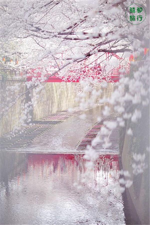 美到落泪的50张樱花艳照 - zgx风清雨润 - zgx风清雨润的博客