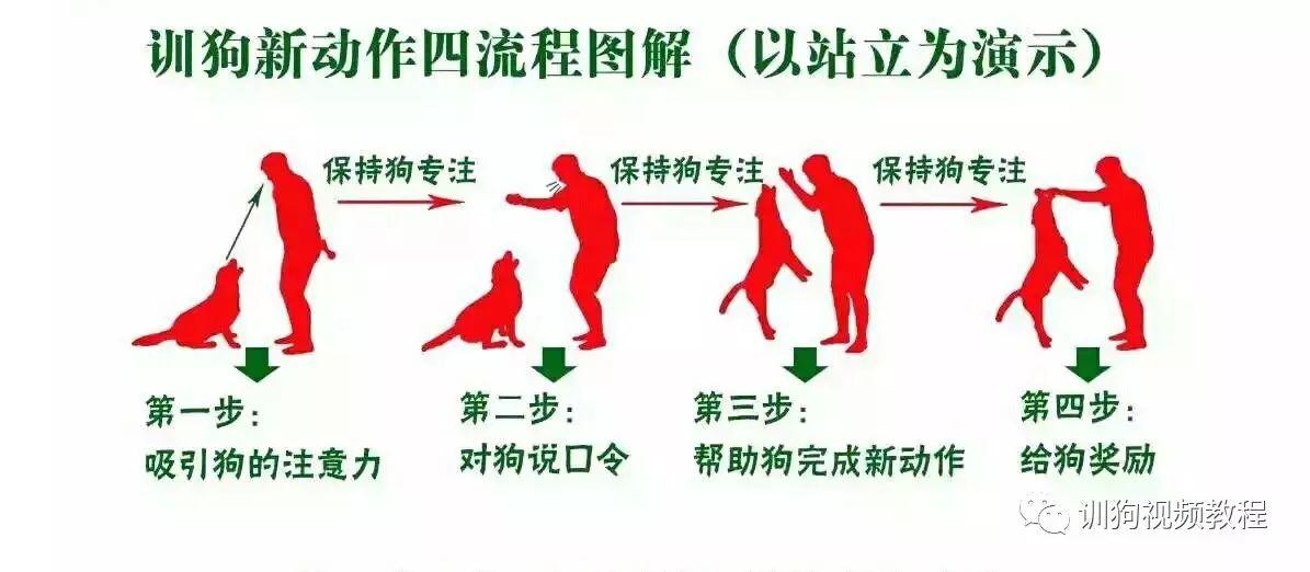 训狗新动作四个流程训练原则和方法(必学)