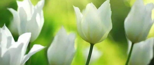 郁金香的花语是什么?适合送什么人?