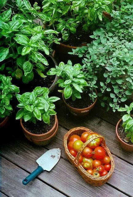 买了一只蕃茄切成片埋在土里,没想到吃都吃不完……