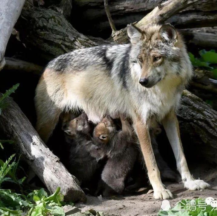 世界顶级狼犬归位,2种来自中国,其中它是狼犬新星,取代德牧