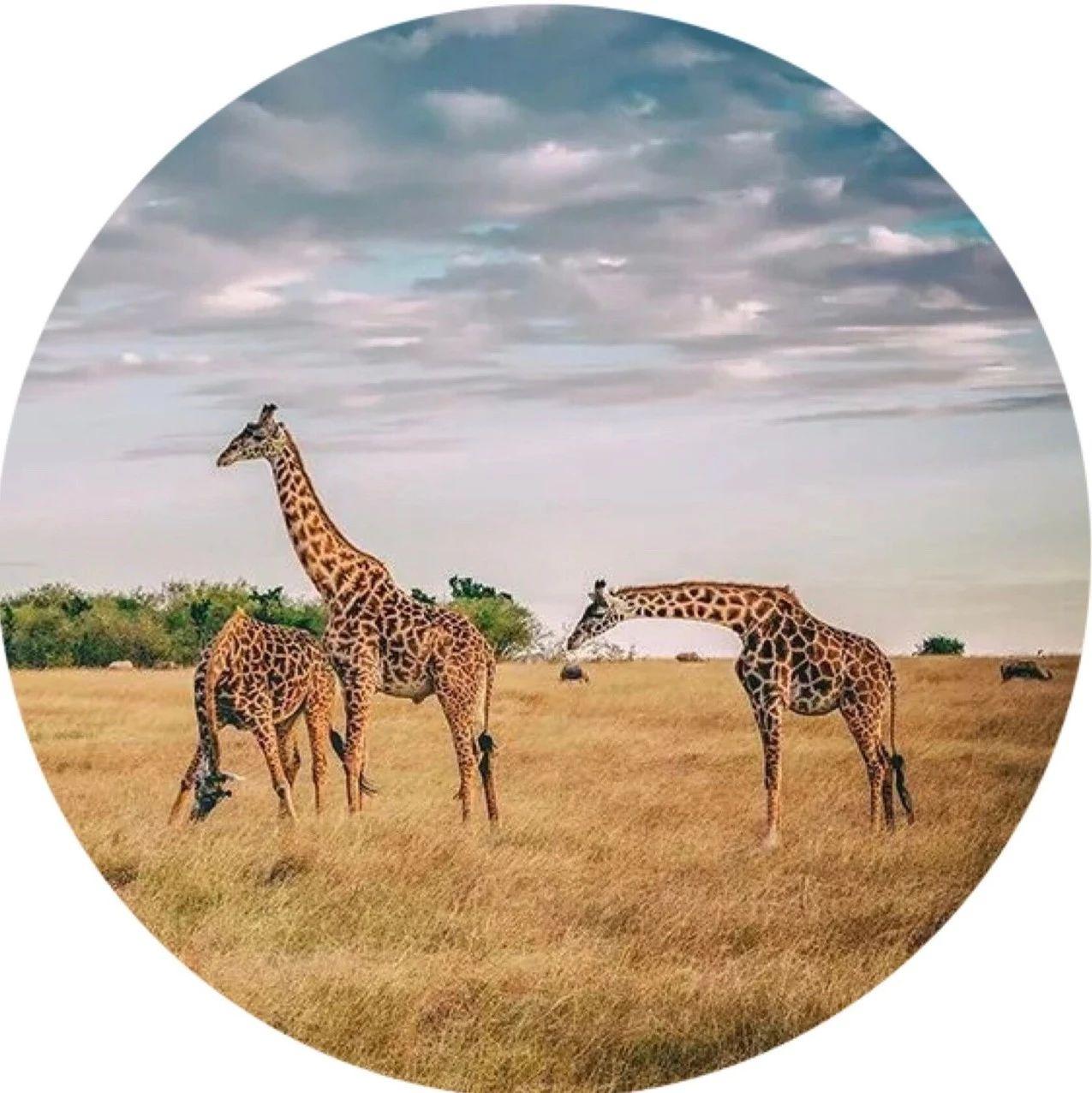 震撼人心!2019非洲动物大迁徙正在上演!一生必去一次的狂野之旅!