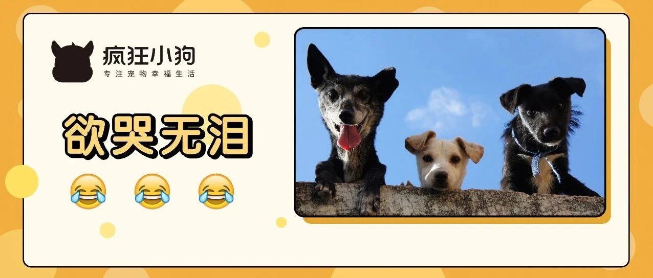 家里同时养3条狗是什么体验?