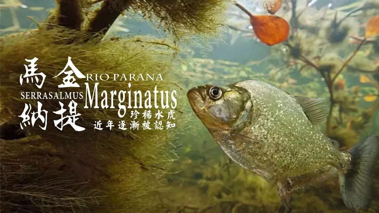 马金纳提S.Marginatus|近年逐渐被认知的珍稀水虎