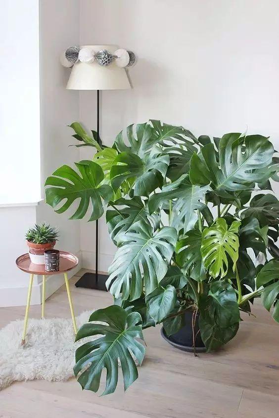 """谁还买发财树呀,家里养这几种植物,立刻美十倍! - suay123""""阿庆嫂"""" - 阿庆嫂欢迎来自远方的好友!"""
