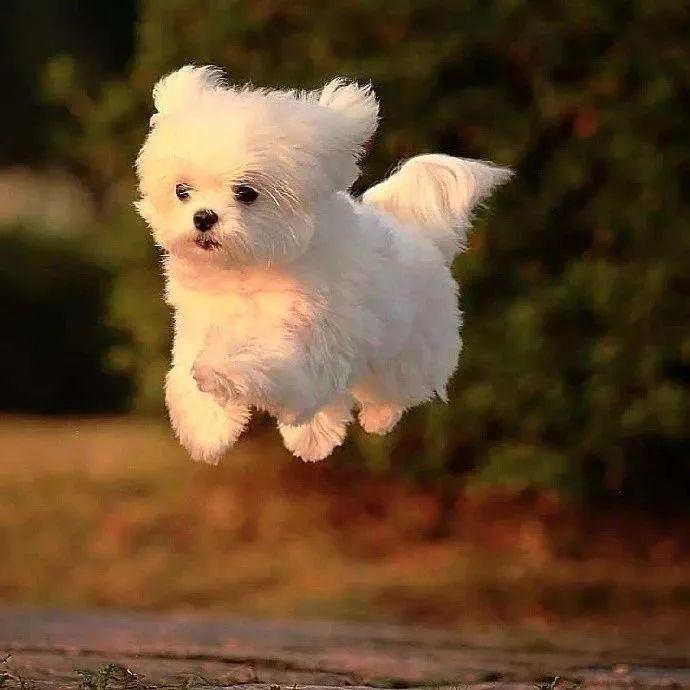 快乐到飞起来的马尔济斯!这是自由的感觉!