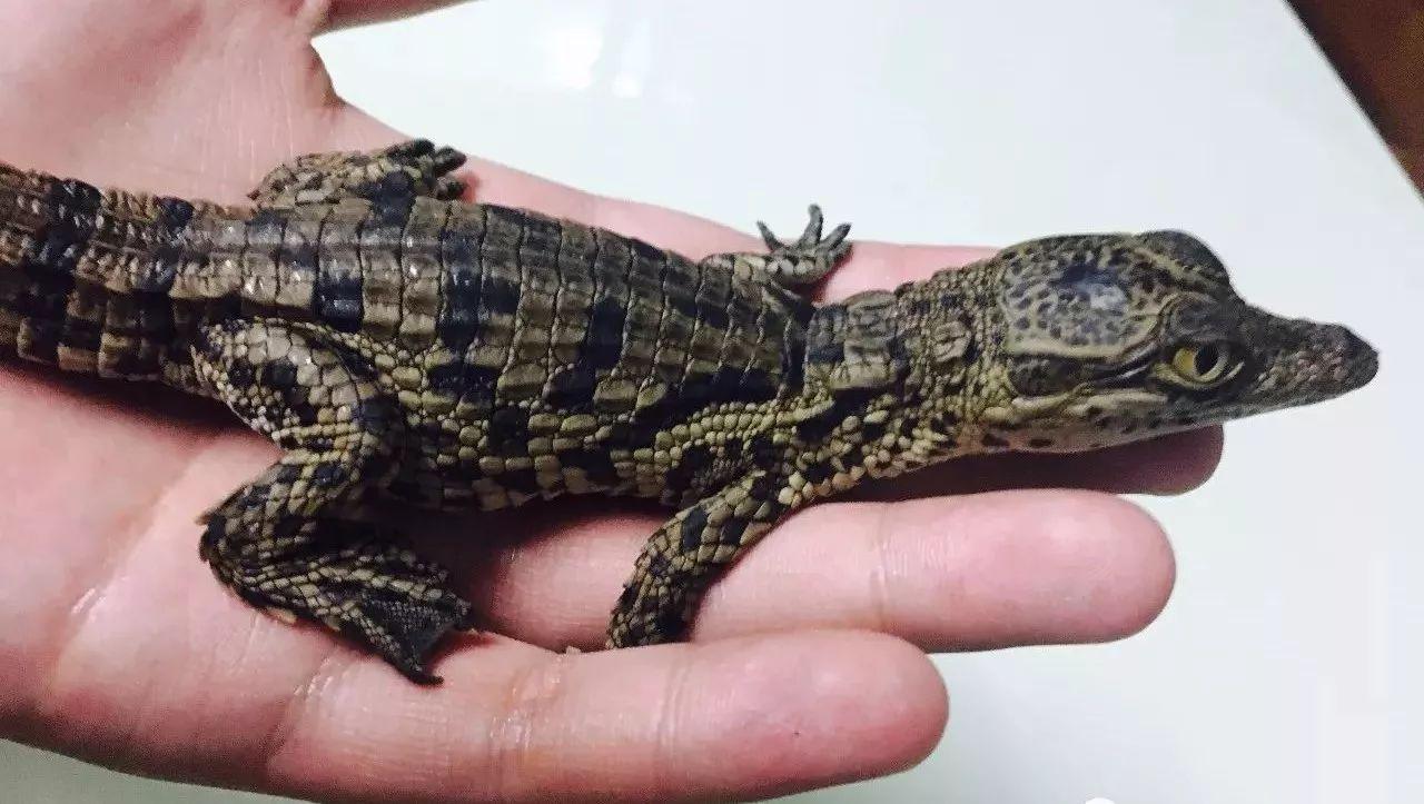 让你养出你想养出的帅鳄鱼——尼罗鳄专篇!
