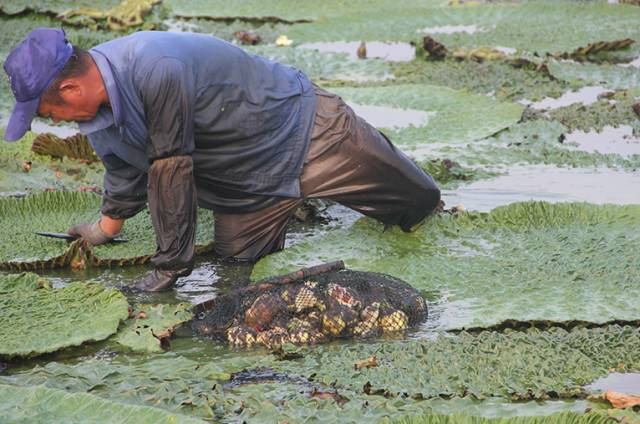 """这种米长得像鸡头,却被称为女人的""""不老米"""",男人的""""长寿米""""!"""