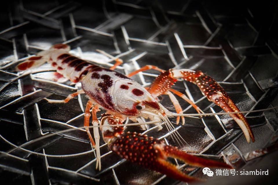 泰國一只蝦,賣出100萬天價!