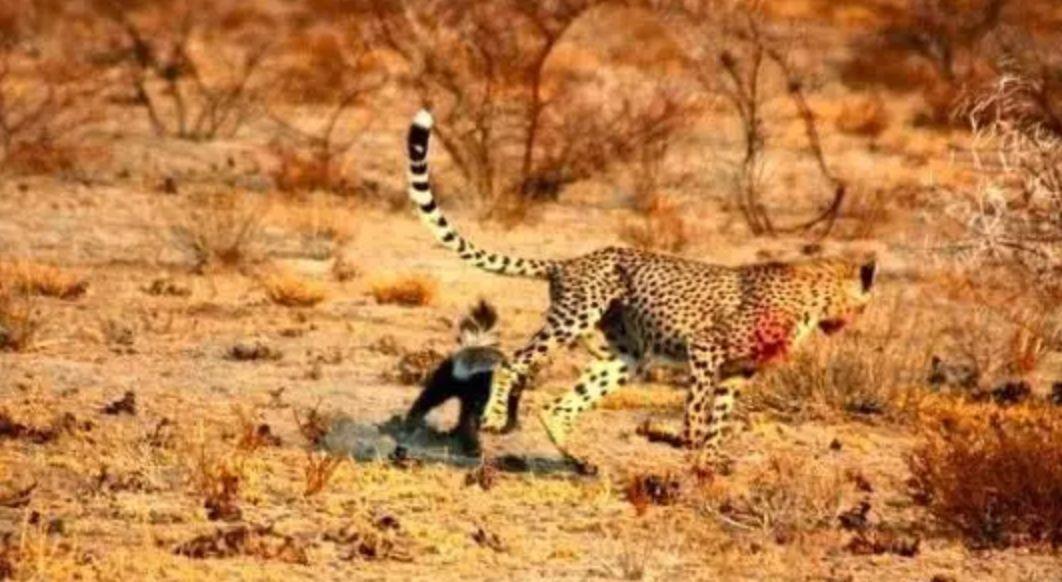 猎豹眼镜蛇_不过是零嘴而已 蜜獾是世界上少有的能够免疫蛇毒的动物 即使被眼镜蛇