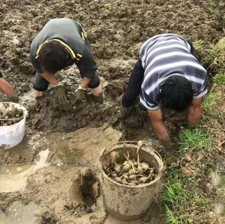 污泥中挖出的果实,长得像荸荠,曾是穷苦人救命粮,如今4元1斤