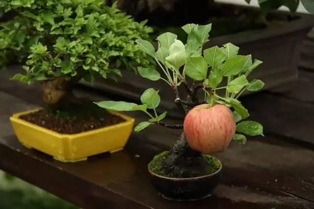 23棵盆栽,每一棵都價值連城!你見過嗎?