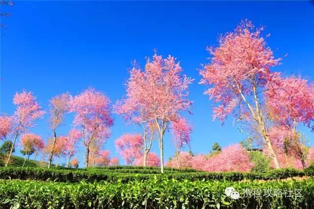「春天最早到達的地方」,雲南大理有座無量山,現在已經花開成海,呈現「冬日對春天的幻想」!
