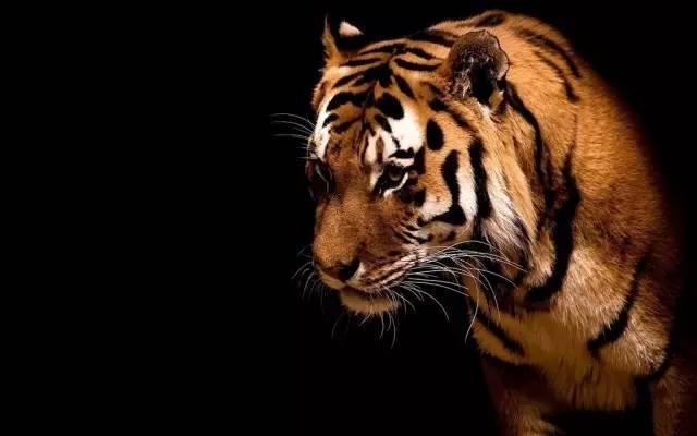 一只饑餓的老虎(深度好文)