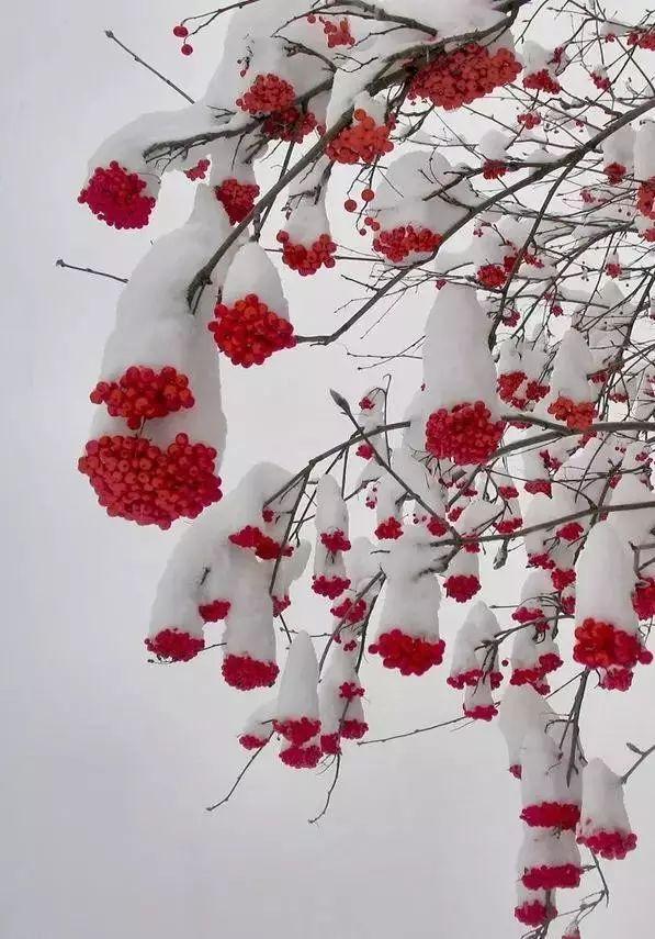 【薦讀】難得一見的雪中花,美到心醉!