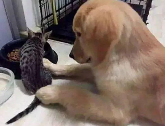 ●家里来只流浪猫,抢了金毛的狗粮,狗狗的反应太暖了!