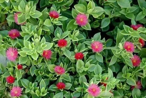 這25種花適合吊起來養,家居空間小的必備良品!