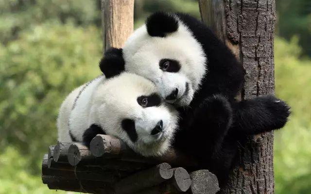 花5100萬給倆熊貓造了個全球最壕宮殿,荷蘭人哭了,中國人笑了