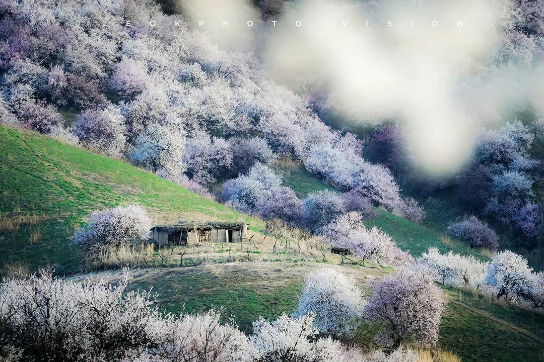 原来新疆的春天可以这么美,都是因为30000亩杏花开了