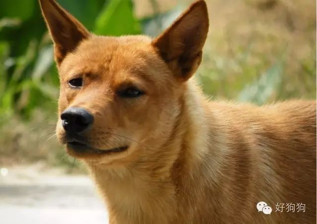 這只中華田園犬高冷拒絕隔壁薩摩耶的求愛,厲害了我的黃!