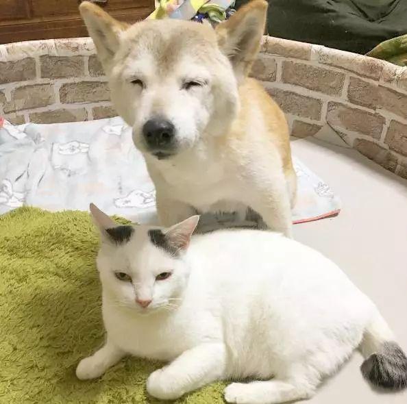 """18岁老年痴呆柴犬离世,""""亲爱的猫,谢谢你用生命爱过我"""""""
