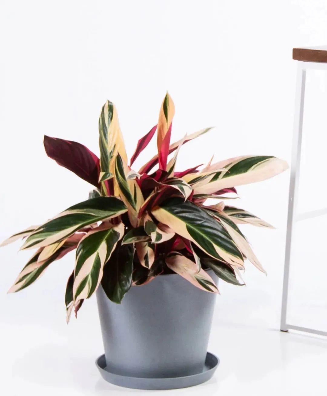 便宜又带锦的室内观叶植物,斑斓的叶子真好看,别总挑贵的买
