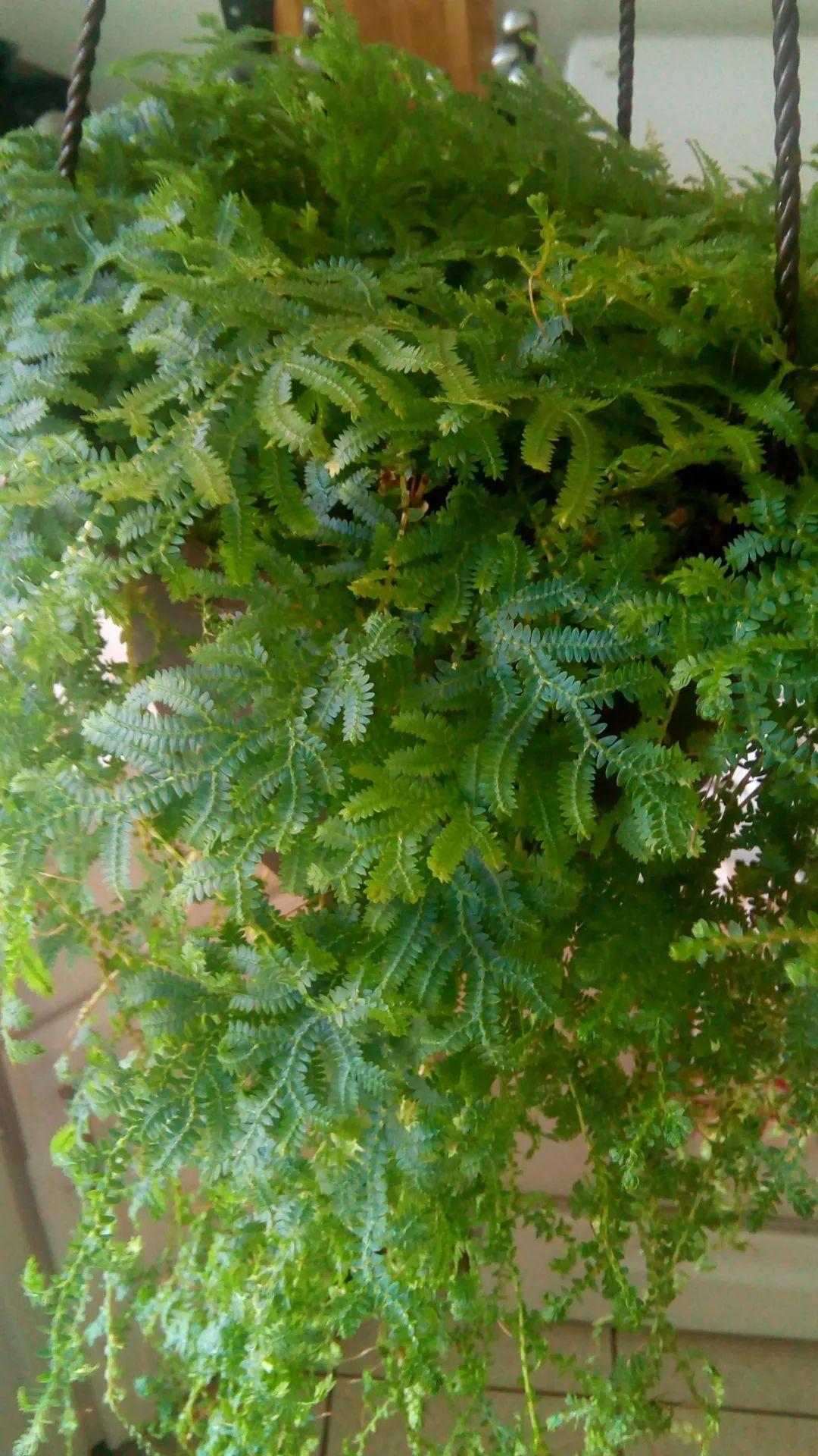 经过试验后,适合养浴室里的几种观叶盆栽,合适的配土是关键