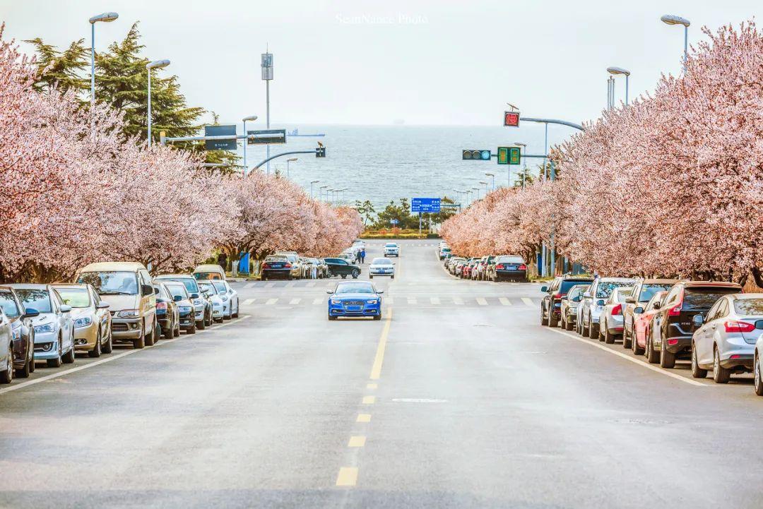 在这个城市,看一场大海与樱花的邂逅