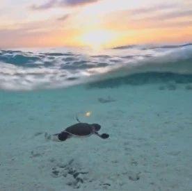 小海龟游泳的样子也太开心了吧!