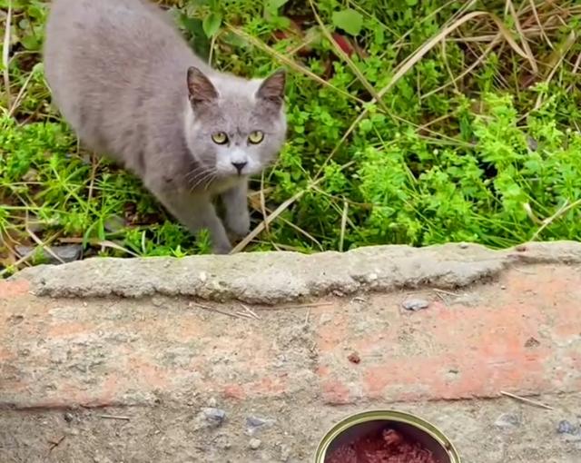 为什么说流浪的宠物猫命运更悲惨?看看这只蓝猫你就知道了